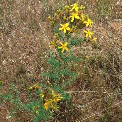 doğal sarı kantaron çiçeği