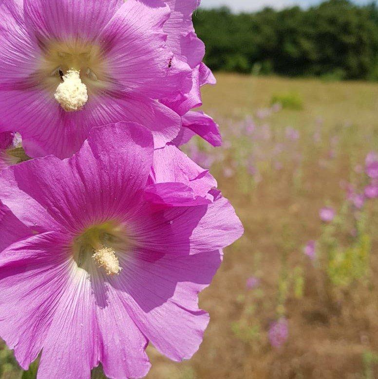 Gülhatmi Çiçeği Faydaları